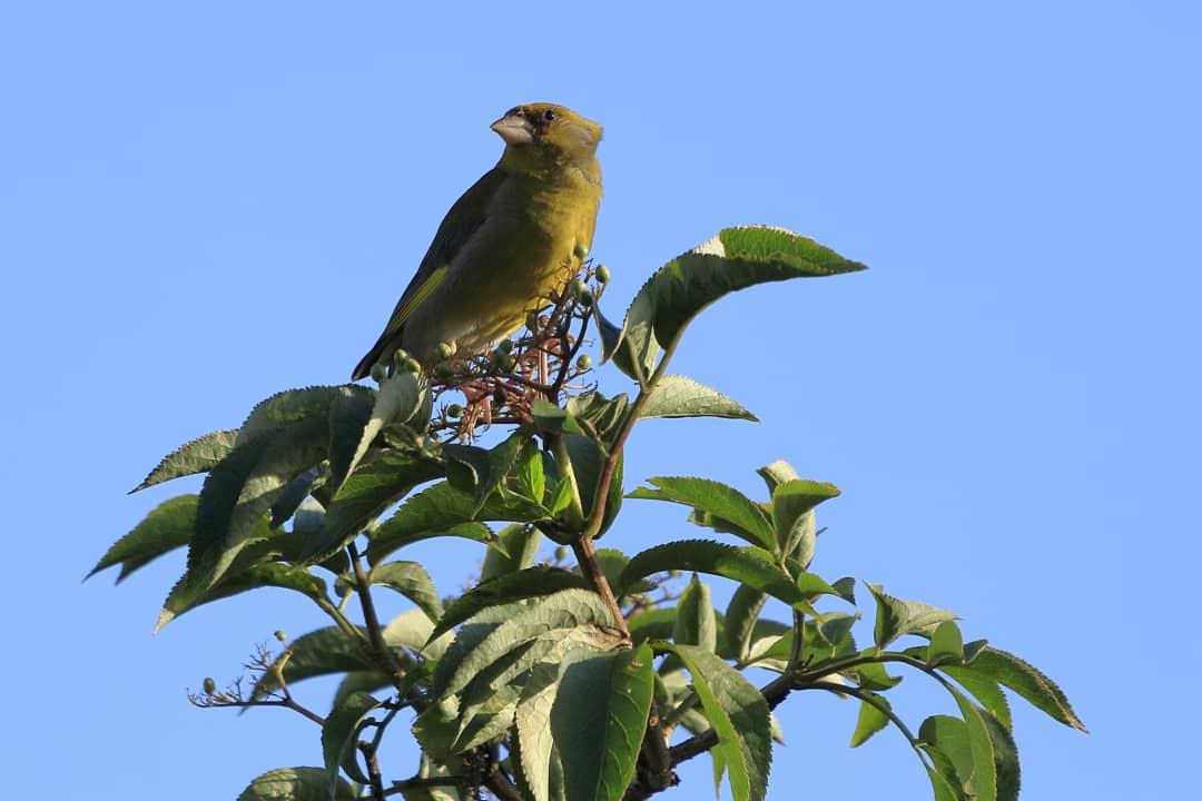 Greenfinch in my Pwll garden #mygardenbirdwatch #TwitterNatureCommunity 🐦