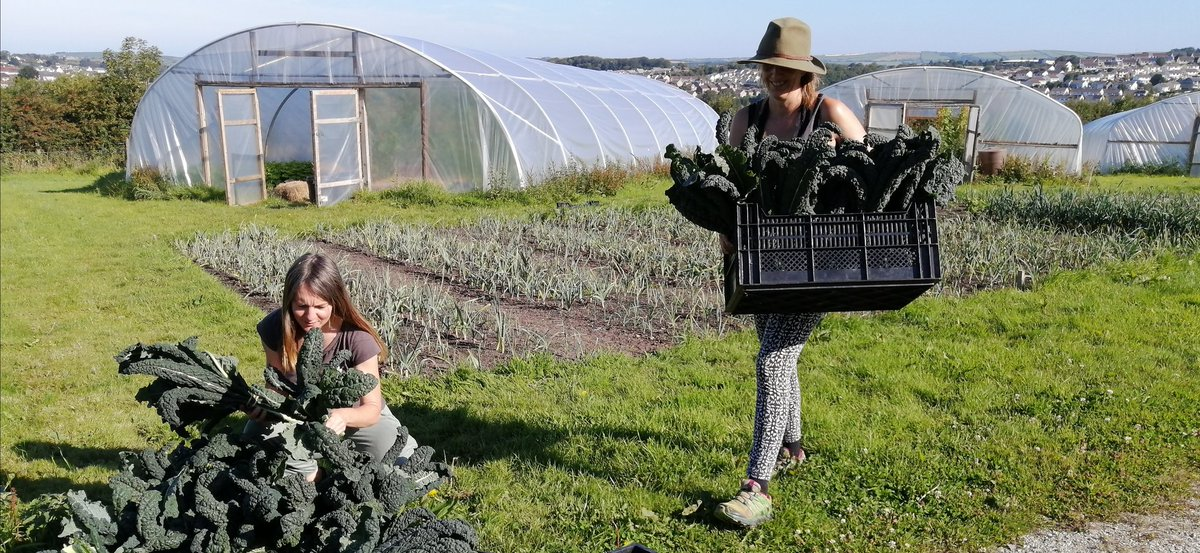 Grower Jane and volunteer Danny harvesting nutrient-rich #cavolonero (black kale). Also in our weekly  #vegboxes: French beans, fennel, tomatoes, basil, cucumbers, green pepper, runner beans, courgettes, mixed salad leaves + 🥔 #localfood #regenerativeagriculture #growingbacksw https://t.co/DkKx57kwoI