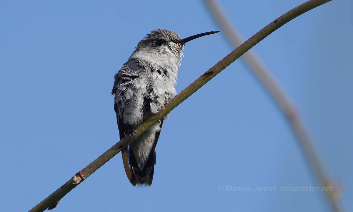 Costa's hummingbird #arizona #hummingbird #hummingbirds #birds #birding #photography #nature #birdphotography #wildlife #naturephotography pic.twitter.com/C47PT1kMqF