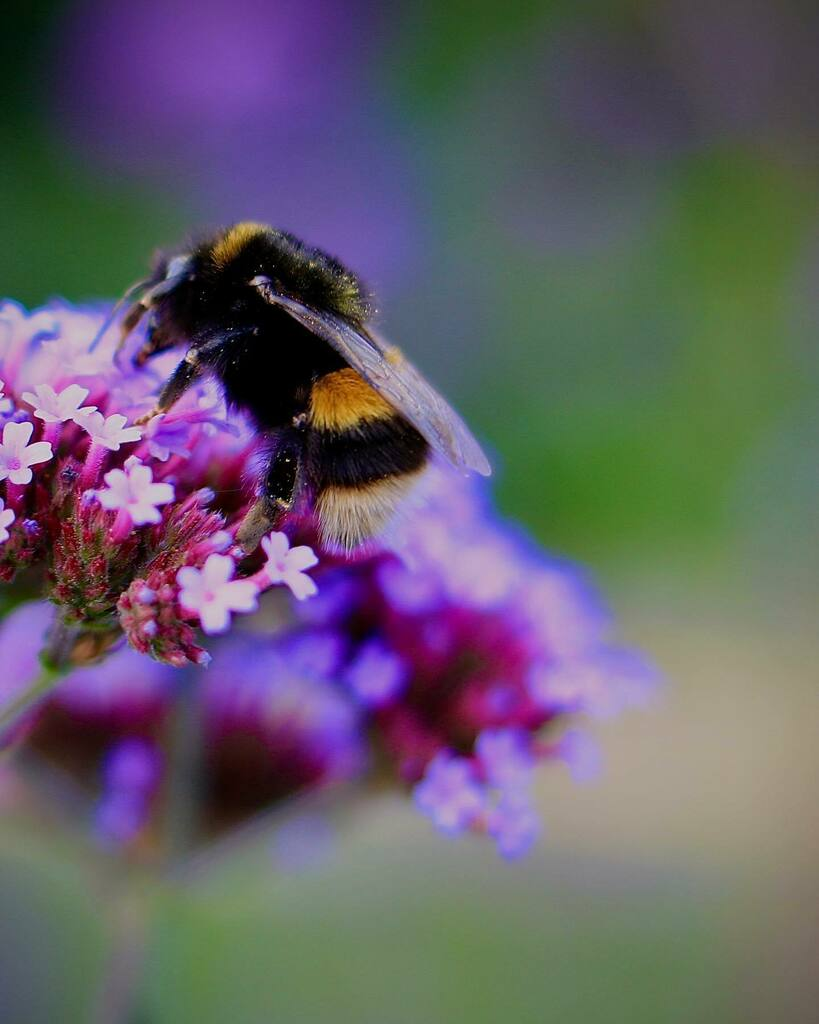 Ver-bee-na...... see what I did there?  • • • #bees #verbena #photography #canon #prime #lens #newlensbuzz #eos #dof_brilliance #nature #wildlife #springwatch https://instagr.am/p/CDXHLKal0JX/pic.twitter.com/xmsVlzz72b