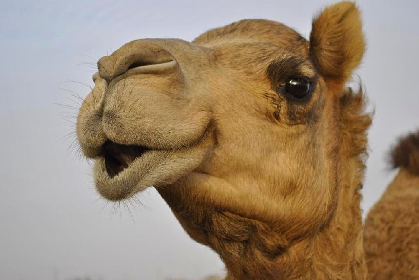 Camels can open and close their nostrils at will. https://t.co/tG2IglqEMh