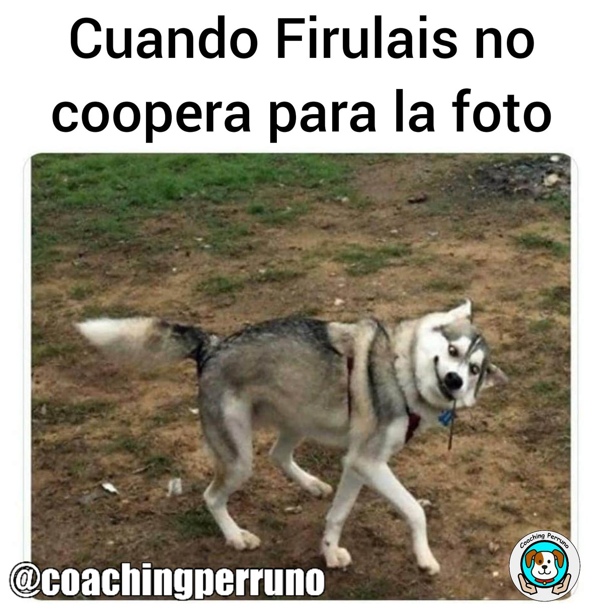 Siempre con buena estampa #perros #dogs #mascotas #petsoftheday #petstagram #dogstagram #coachingperruno #funnypets #pets #ilovedogs#petslovers #funnydogs #dogslovers #huskypic.twitter.com/T0HN9hIyff