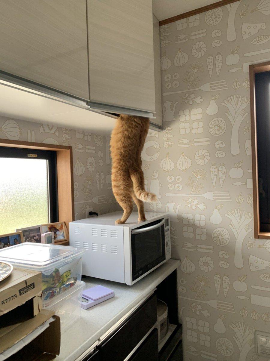 回家看到正在找罐罐的貓…… EeZ46IxUYAMGfTx