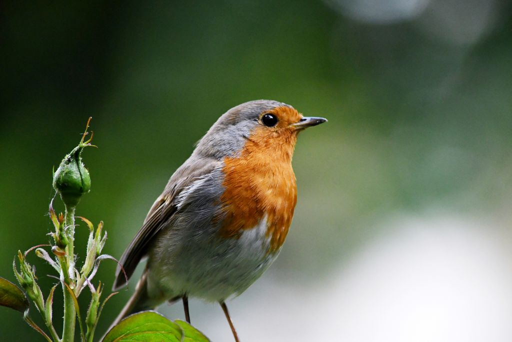 This thoughtful robin is todays Photo of the Day taken by Aby Abraham in Beckenham. #BBCCountryfileMagPOTD