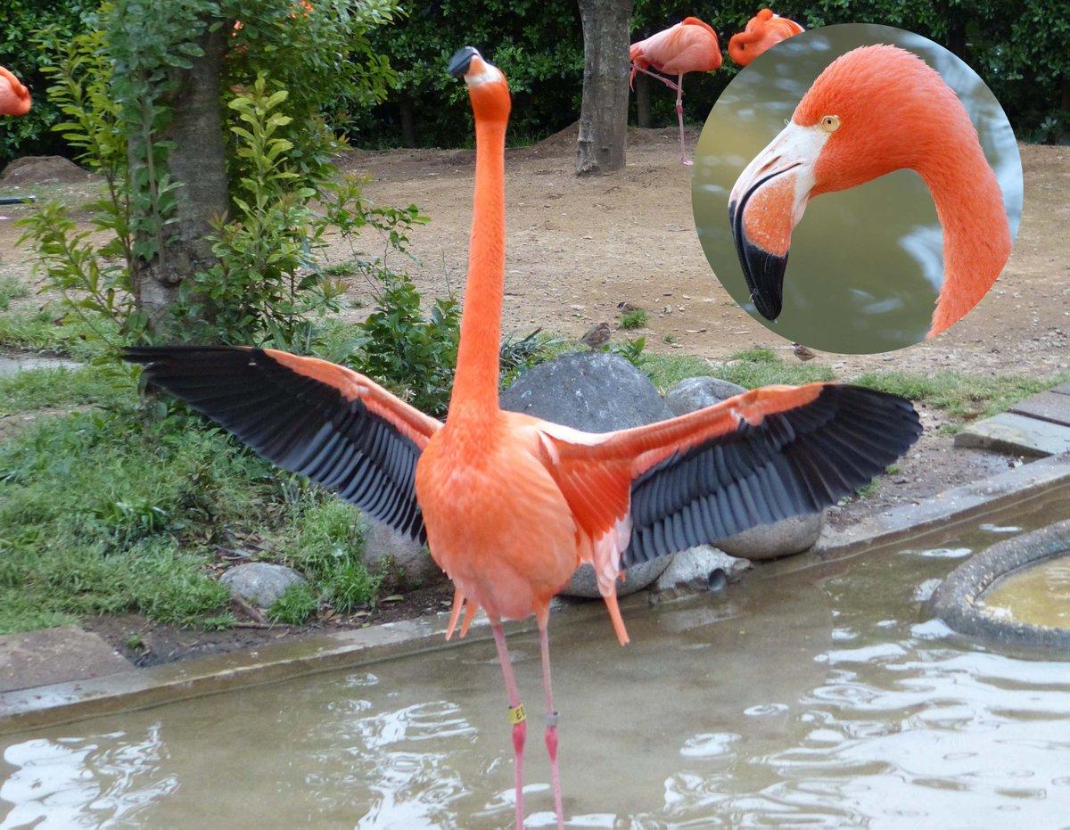 """上野動物園[公式] on Twitter: """"この動物は、フラミンゴ ..."""