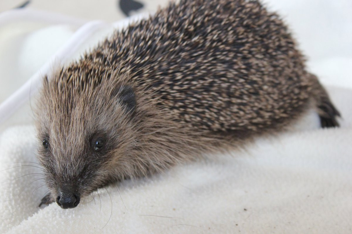 Two of the new arrivals have tested positive for lungworm and roundworm. Never seen so many parasites in such tiny hedgehogs - only around 250g. This is a really difficult year. Tips, advice and ways to support at littlesilverhedgehog.com