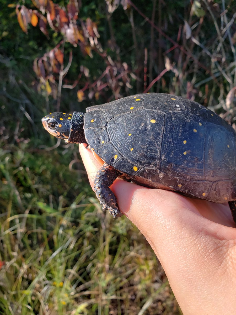 @CheloniaGirl @SwflTurtle @HerpLeague @ssarherps @IchsAndHerps I study spotted turtles! (& eastern box turtles but let's give spotties the spotlight today)   My MS is on female landscape use and nesting ecology of several populations of these species in an understudied/underpublished portion of their range. #HERpers https://t.co/5cm6MuPvHC