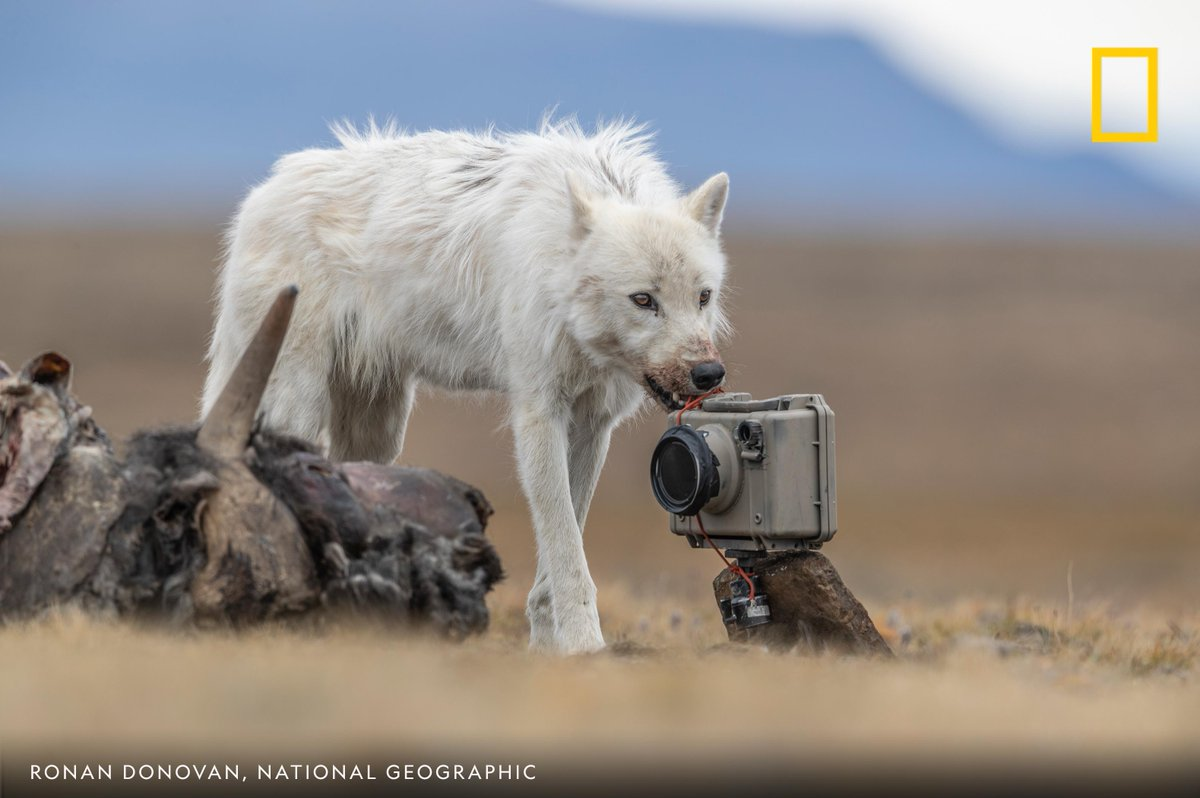 A male Arctic wolf stands next to a remote camera and a muskox carcass in this photo by Ronan Donovan https://t.co/W2cNINUI1u
