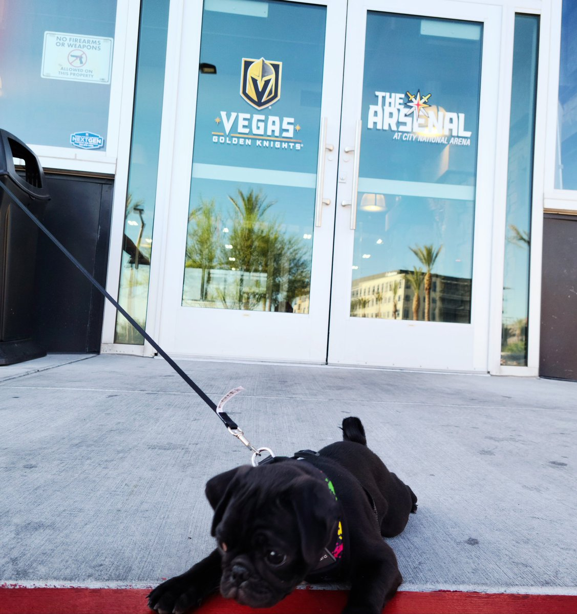 #SundayFunday  #vegasgoldenknights #VegasBorn #GoKnightsGo  #NHLPlayoffs #puglife #pugs #pug #pugsoftwitter #pugchatpic.twitter.com/mAQBah3tor