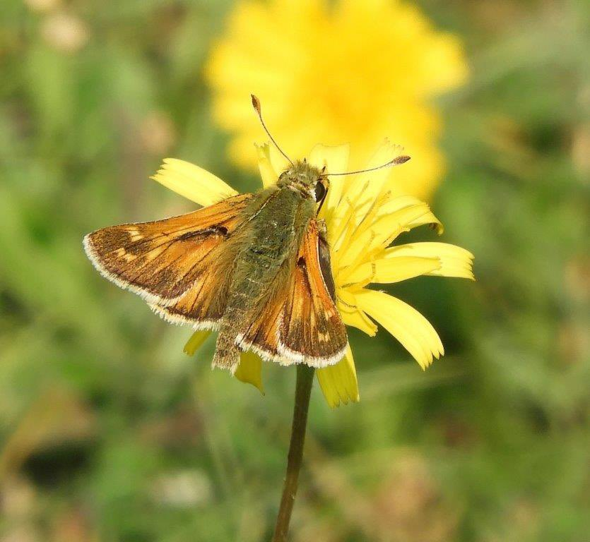 Male and female Silver Spotted skippers today in Oxfordshire. Across two nights Aston Rowant & Watlington Hill, in excess of 80 seen, probably many more👍🏼@savebutterflies @UpperThamesBC @BBOWT @nationaltrust