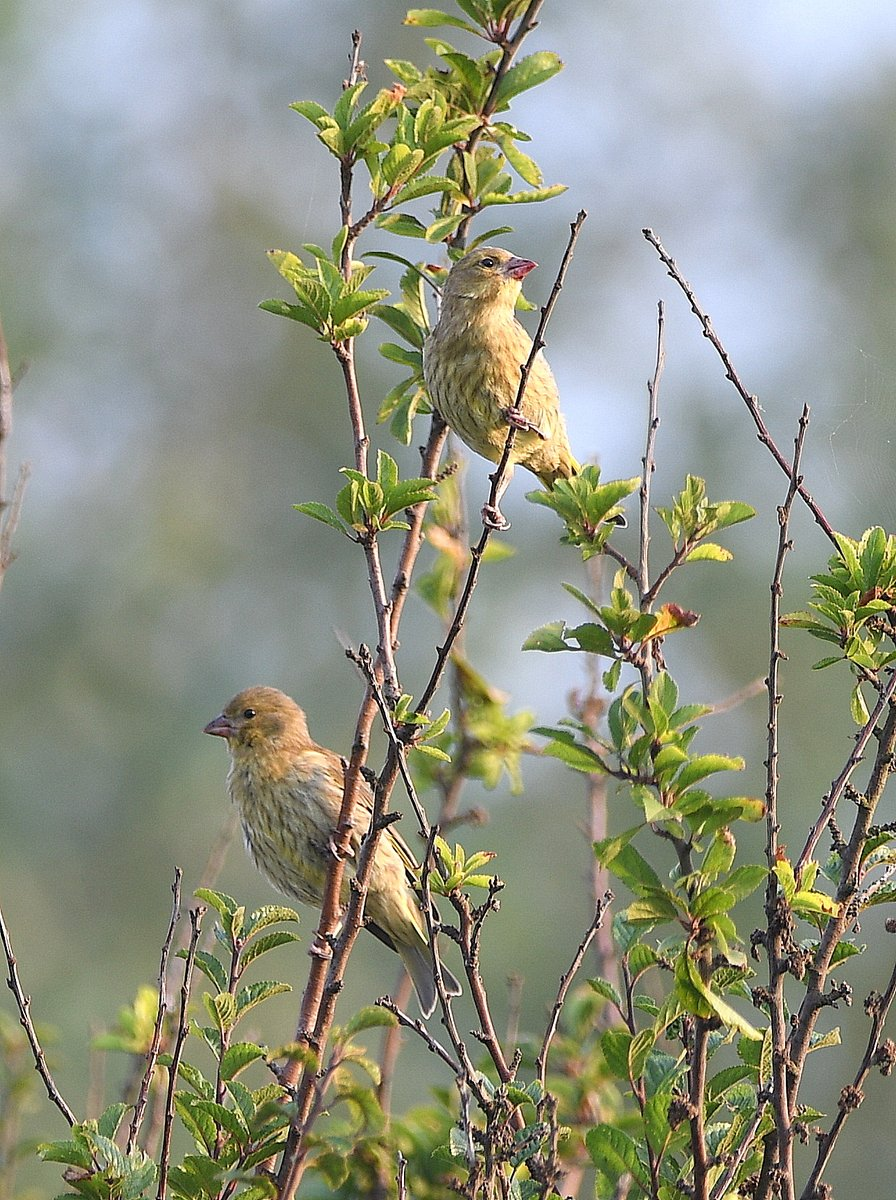 Greenfinch juveniles on South Wall Deal early this morning. The lipstick red bill surprised me. Could be local residents as I have been watching a pair close by since their Spring courtship display. Looks like Dad keeping an eye on them - extreme left.