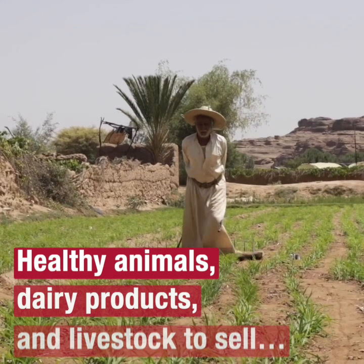 Vaccines save lives. Vaccines save livelihoods. Heres why were vaccinating sheep in Yemen.