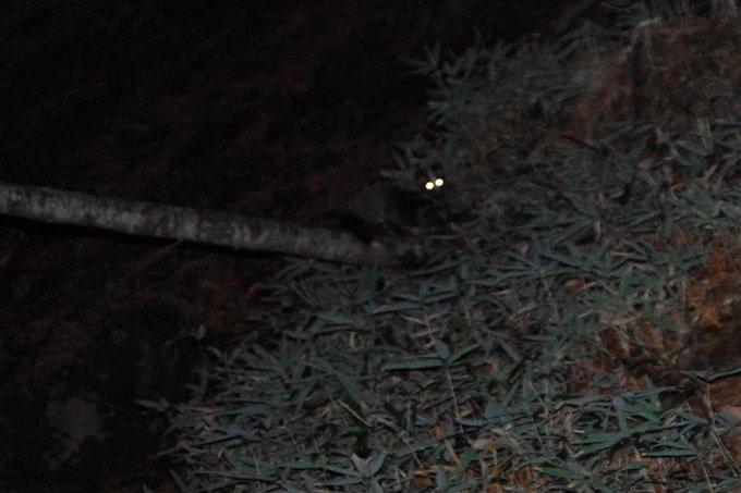 以前、鬼怒川の源流で遭遇したハクビシン。 夜行性なので夜の山でよく会うようです。 顔はかわいいのですが、感染症を媒介する恐れもあるので遠くから見守るのがいいようです。 #ハクビシン #深夜の密会 https://t.co/O5nFGjnlmK