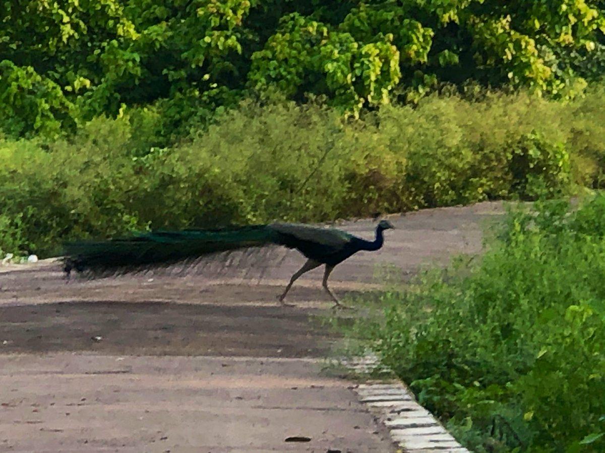 दो दीवाने....शहर में.. रात में या दोपहर में.. आबोदाना ढूंढते है..एक आशियाना ढूंढते है... Captured these during the morning walk today... @ParveenKaswan @noida_authority