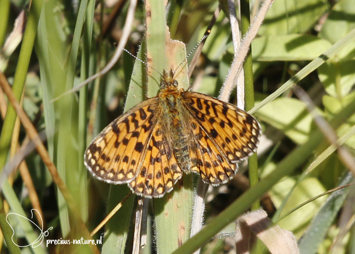 Mooiste waarneming van vanmiddag: #zilverenmaan #SmallPearlBorderedFritillary Daarnaast ook #icarusblauwtje #CommonBlue en #hooibeestje #SmallHeath #NaturePhotography #natuurfotografie #naturelover #natuurinOverijssel #safebutterflies https://t.co/psLE7j4ekM