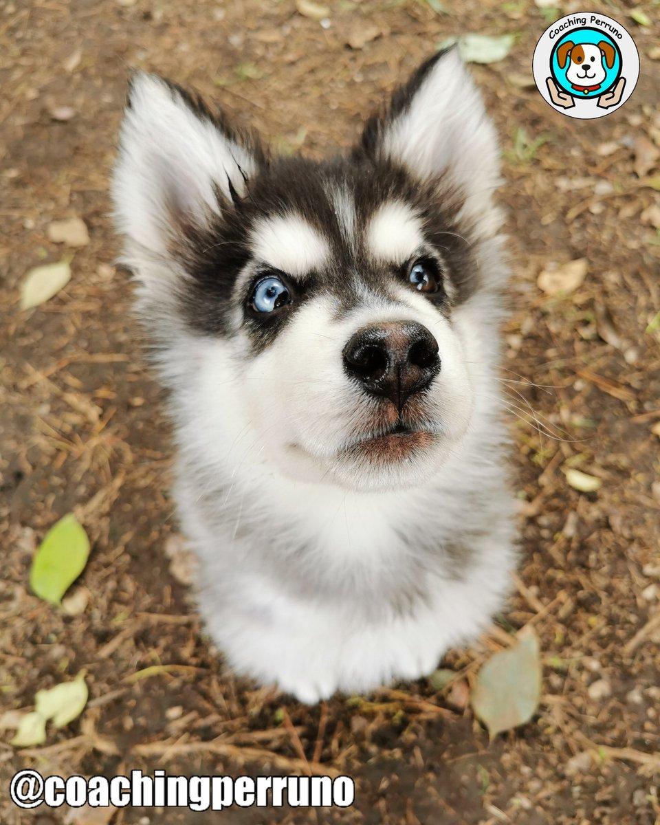 Evaluación para el guapo Balto #perros #dogs #mascotas #petsoftheday #petstagram #dogstagram #coachingperruno #funnypets #pets #ilovedogs#petslovers #funnydogs #dogslovers #husky #dogtrainerpic.twitter.com/YA73MNPWOg