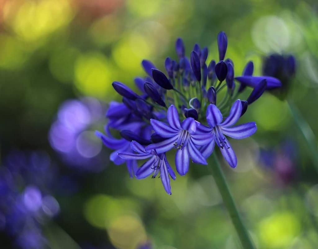 Agapanthus adding beauty to the summer garden. . . . #agapanthus #flower #flowerlovers #floweroftheday #flowerstagram #nature #naturelovers #naturephotography #dof #raw_depthoffield #dof_brilliance #explore_dof #dofnature #bokeh #bokehlicious #bokehkille… https://instagr.am/p/CDZhMiiDK_9/pic.twitter.com/YUbGhz4Lxm