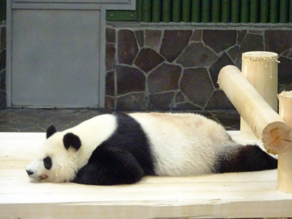 たんたんさん、お休み中でございます💤💤またいい感じに伸びていますね(笑)ゆっくりお休みくださいね😌#きょうのタンタン #王子動物園#眠れる森の美女パンダ