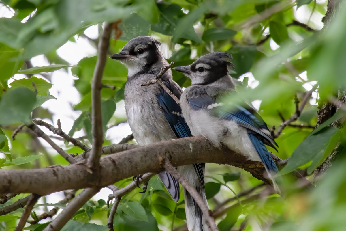 The blue jay parents brought the kids to the garden today for the first time and 💙THEY 💙ARE 💙ADORBS!!! 💙