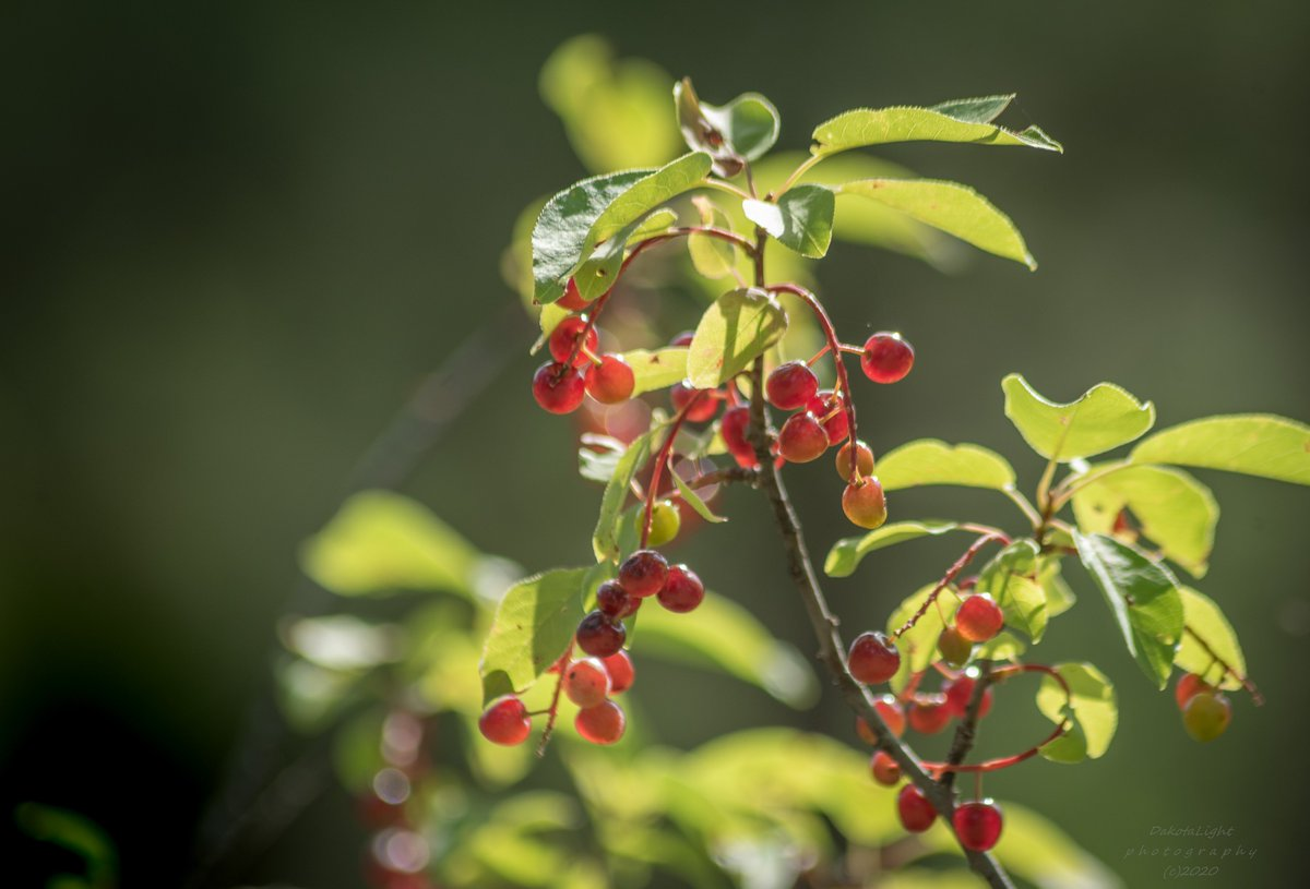 20200802-Just a few chokecherries.  #SouthDakota #picoftheday #potd #Day3136 #chokecherry #wild #summer #BlackHills https://t.co/ZeE6ik1QWF