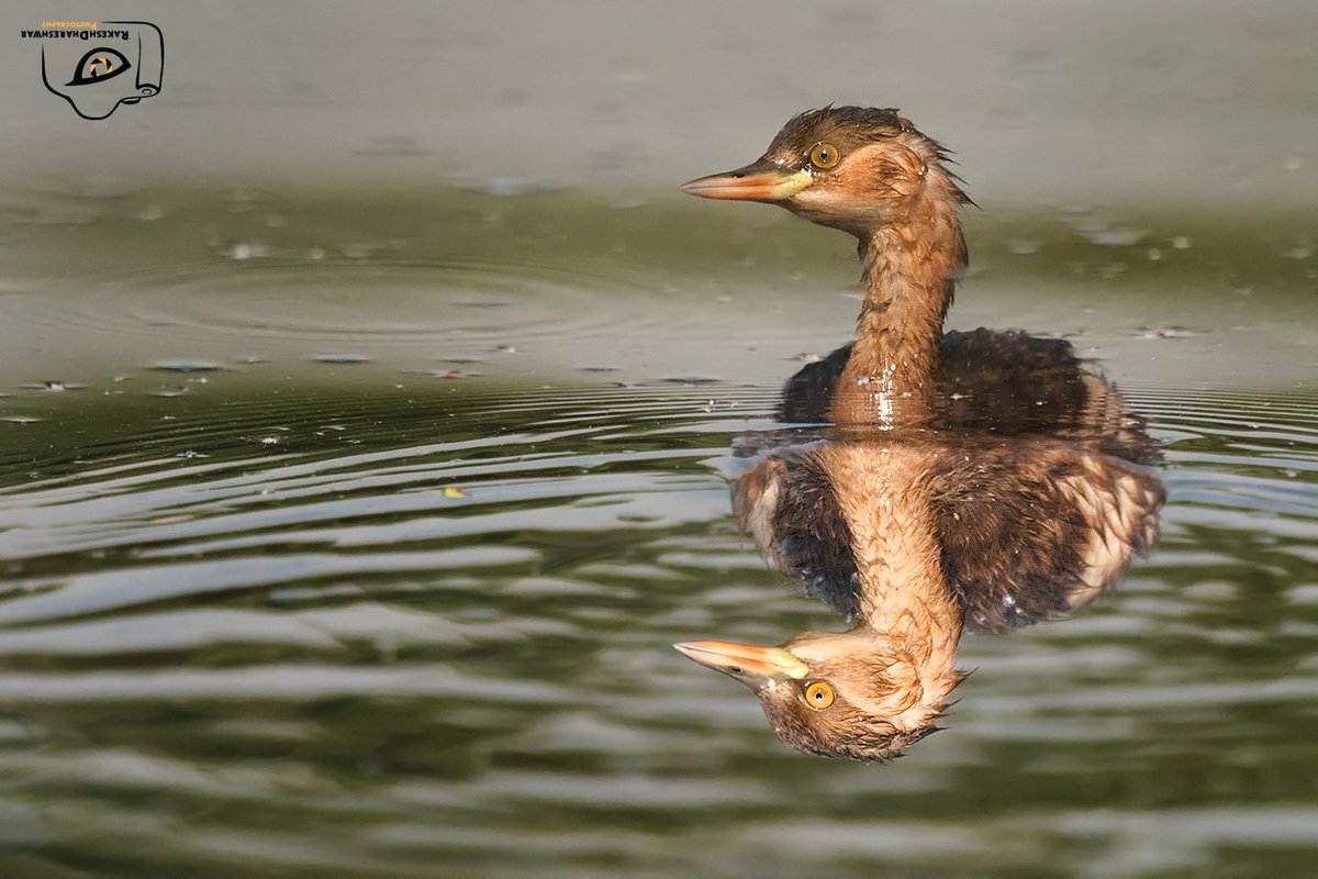 The litte grebe is a cute little water bird, aka dabchick. Fairly common, but not always conspicuous. Quite shy like most water birds, they like to keep their distance. Check the image and see the beauty of reflection #birdphotography #NaturePhotography #photo #waterbird
