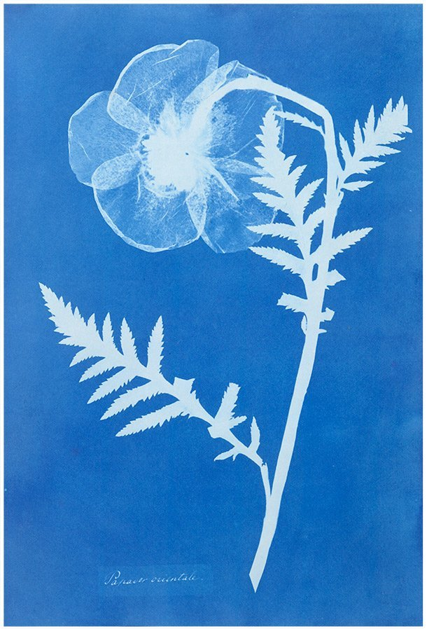 Poppy c.1852 by Anna Atkins, UK pioneer in botany and photography whose photographs created by cyanotype process were among the first ever to be published #womensart