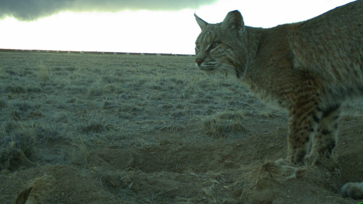 This bobcat was caught by a trail camera while exploring a prairie dog restoration site early one morning in Colorado! Bobcats are elusive predators found in many parts of the U.S. & in several different habitat types: deserts, forests, mountains, & prairies. Photo: USFWS https://t.co/K3VUyVXoUD