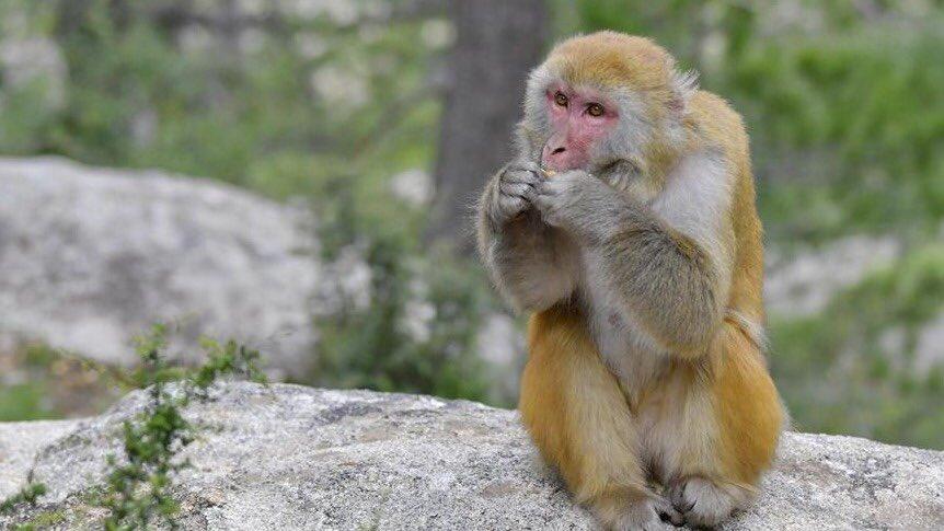 #Photos du jour : #macaques du Tibet à #Shannan, dans la région autonome du #Tibet (sud-ouest de la Chine). #nature #animaux #voyagepic.twitter.com/UkayeS2rhT