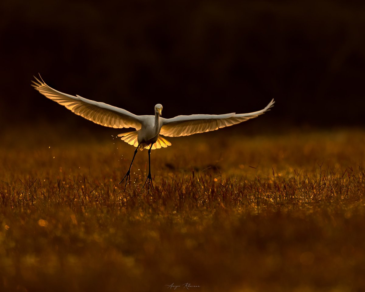 Golden Landing. Egret shot at Keoladeo National Park, 2020. #wildlife #birdphotography #photography @earth @ParveenKaswan @NatGeoIndia