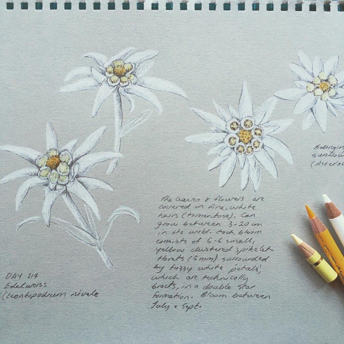 Day 24. Edelweiss (Leontopodium nivale). Coloured pencil and graphite on grey pastel paper.  #art #botanical #natureartist  #botanicaldrawing #sketch #botanicalartist #leontopodiumnivale #swissflowers #edelweiss #wip #alpineflowers #dailydrawing #asketchaday #jennyhaslimeierpic.twitter.com/TWETKas4X4