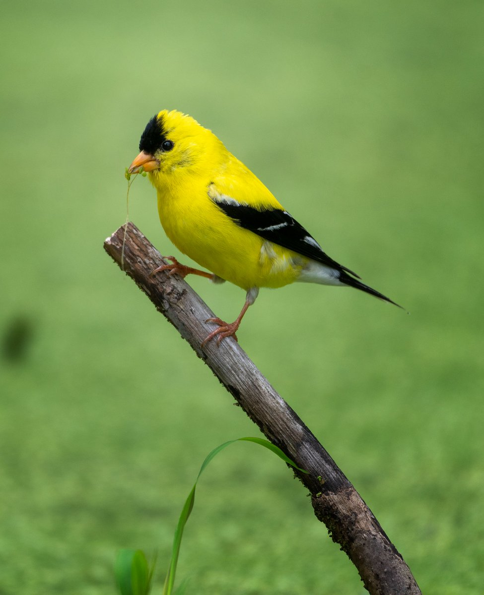 An American Goldfinch with a bit of duckweed in his beak.