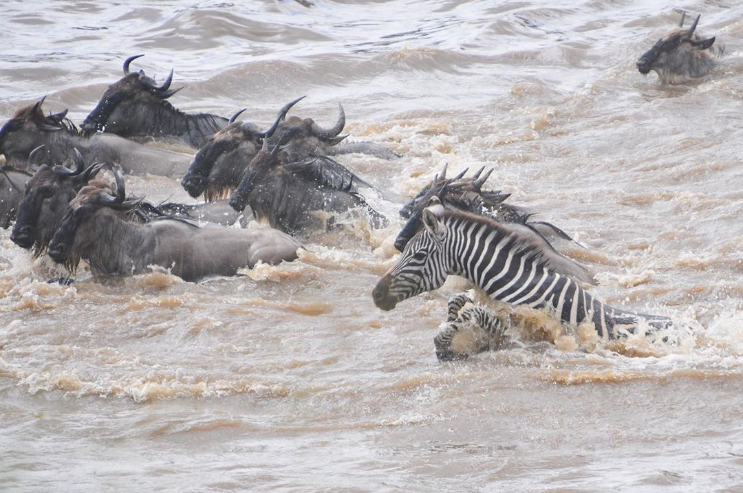 It's that time of year!!! Don't miss out on the great migration! The massive herds have started crossing the Mara River! #Talekcamp #masaimara #greatmigration #kenyasafari #africasafari #wildlifephotography #wildebeest #TembeaKenya #magicalkenya. Book: safiri@travelnasi.co.kepic.twitter.com/fiEaLhsUB6