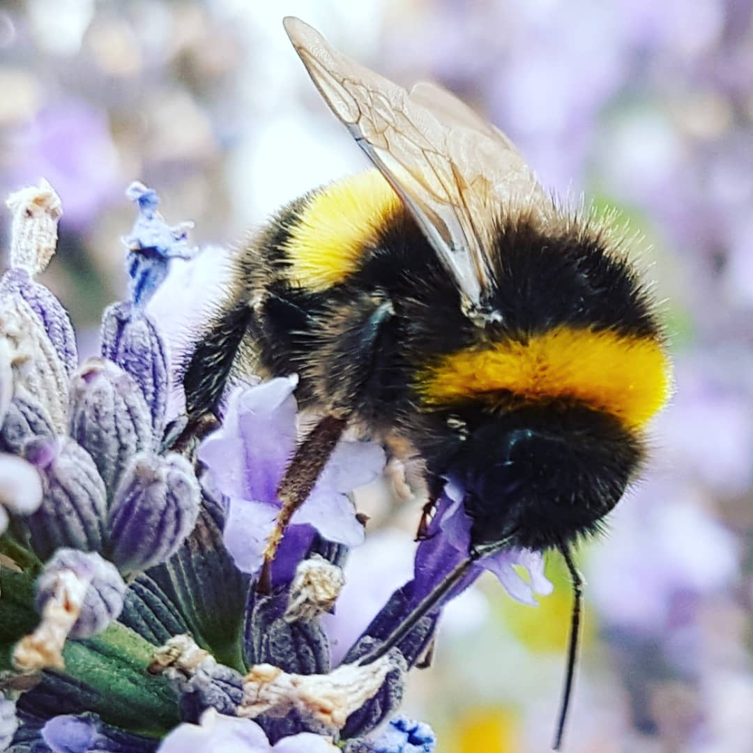 When I observe the lifecycle of #lavender and how the #Bees & #pollinators feed I am privileged to observe every nuance which to be frank is rather spectacular #lavender #Bumblebees #Flowers #Kwiaty #pzola #nature #Englishgarden #Lincolngarden #love #Amor xpic.twitter.com/5skB7ENoqu