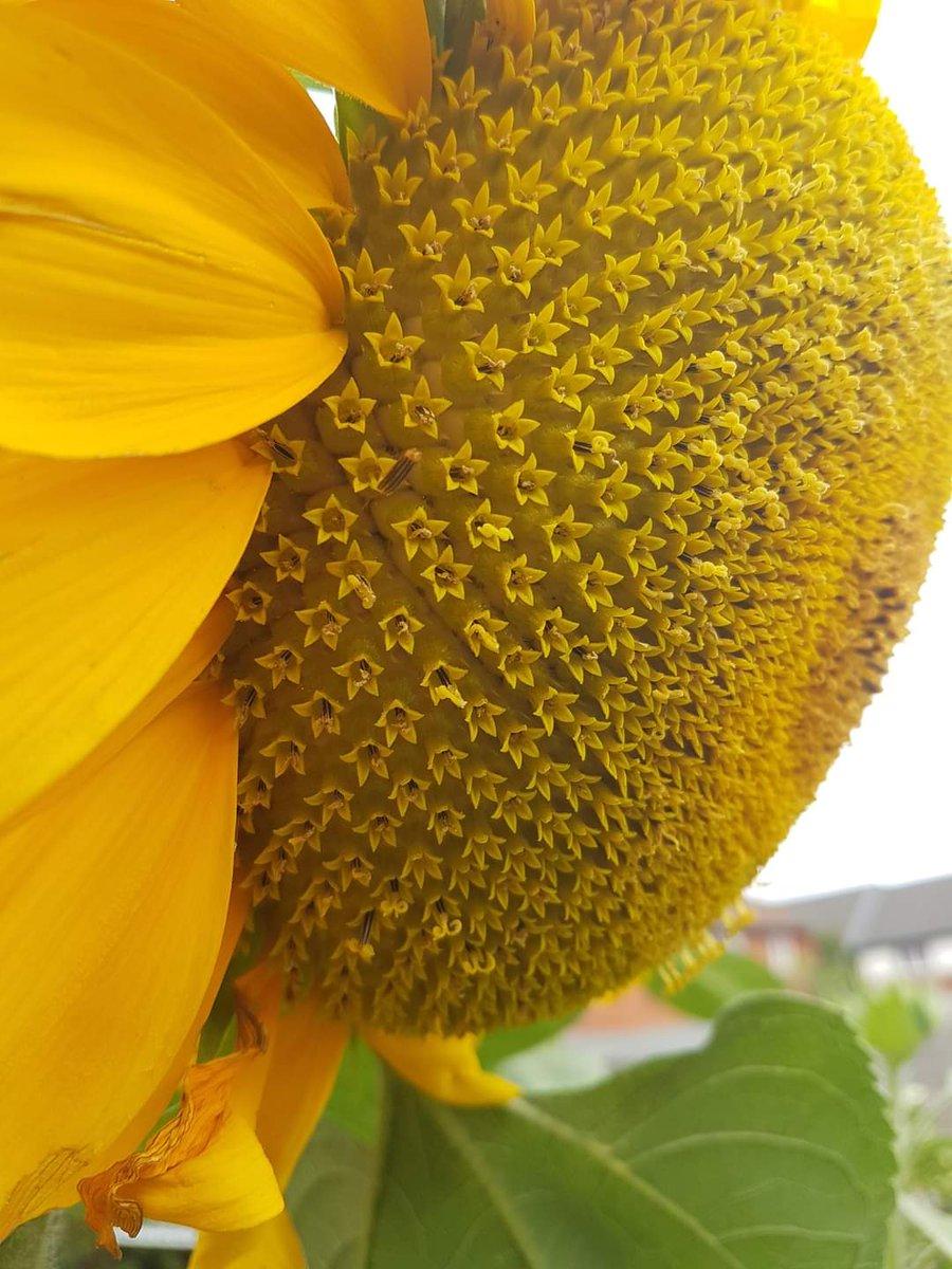Omama V Twitter زهرة عباد الشمس نظره عن قرب توضح أنها في الحقيقة مكونة من مئات الزهور الصغيرة في تناظر وإتساق تام
