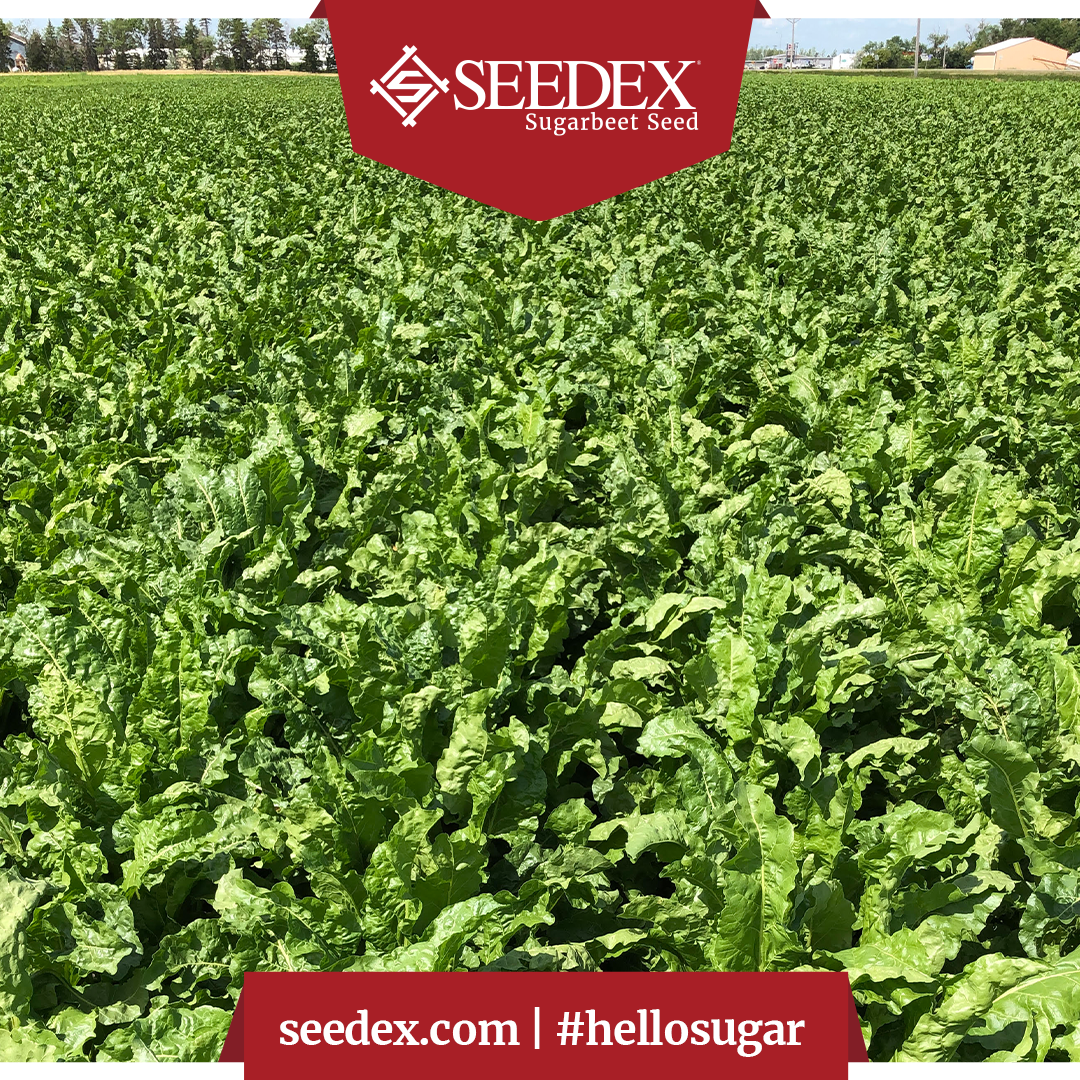 Here's a shot of Brian Thompson's Grower Strip Trial by Drayton, ND. These gorgeous greens are standing tall. #CrystalSugarCo #hellosugar #sugarbeets