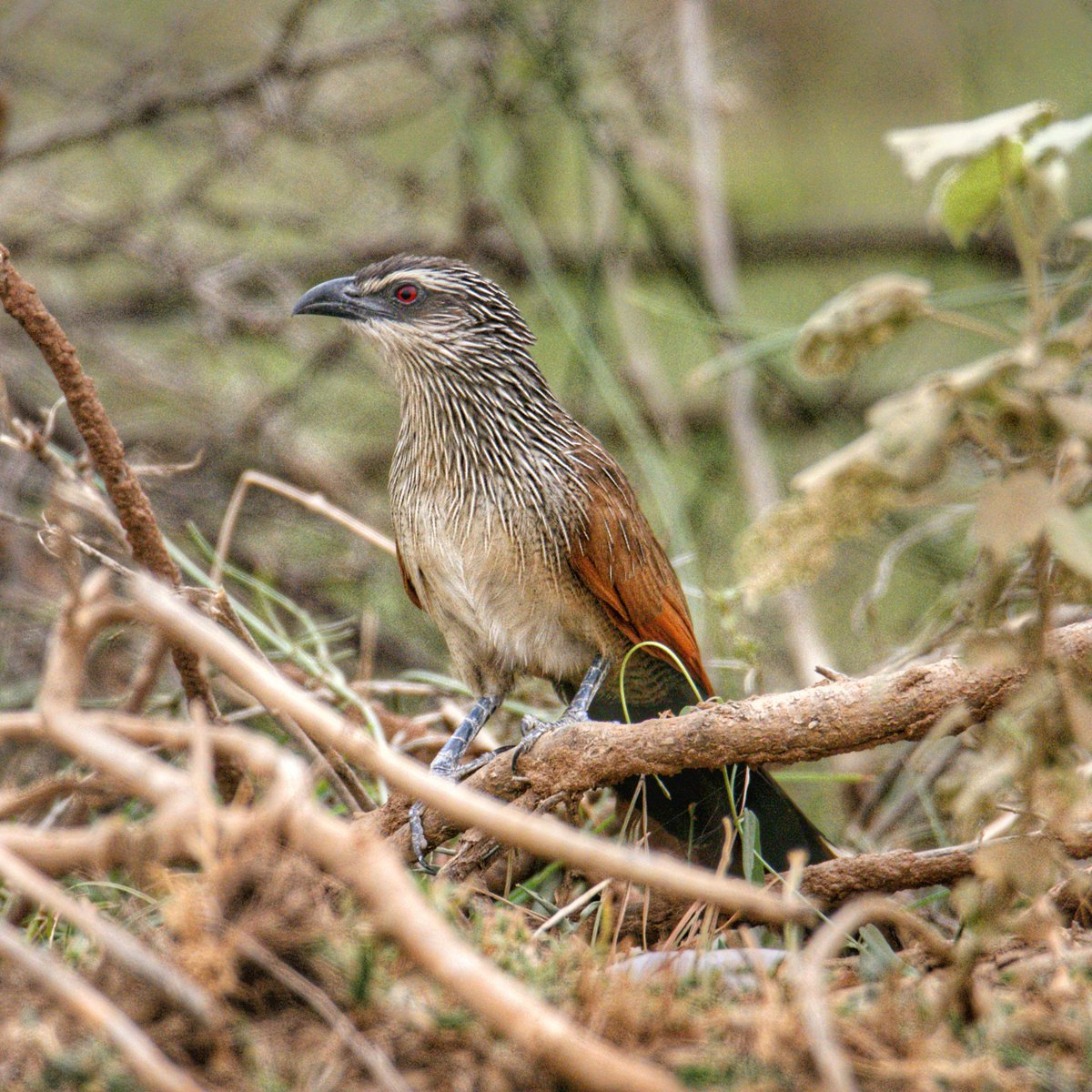 White Browed Coucal Arabic: كوكال أبيض الحاجب  Location: #Faifa #Jizan #Jazan #SaudiArabia الموقع: #فيفا #جيزان #جازان #السعودية  #birds #wildlife #naturelovers #photography #photographers #amazing #traveling #travelphotography #photo #ksa #beautiful @SaudiMagazine @IASArabia https://t.co/p4u9fHDG05