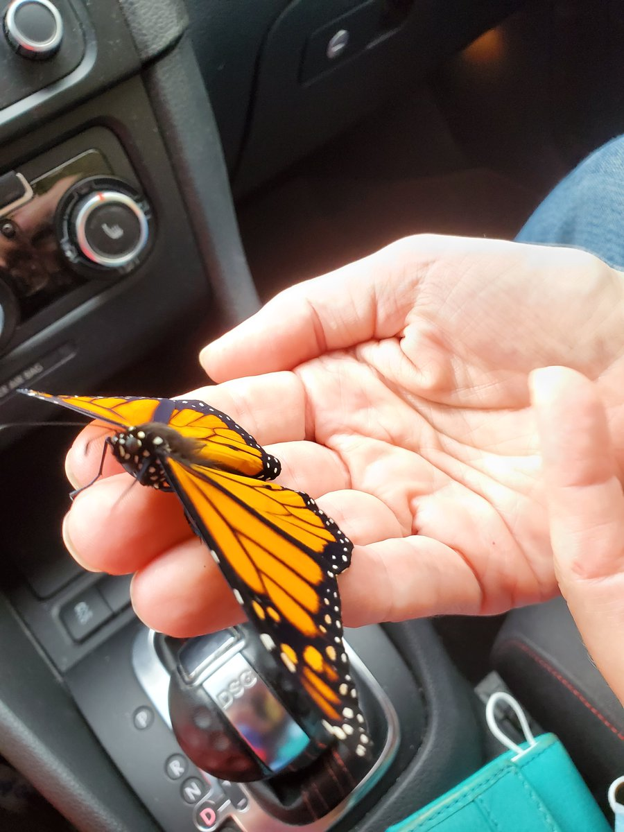 We were able to coax this butterfly off a gas station parking area and into our hands.  It was a gentle ride home. Last time we saw the butterfly, it was relaxing on the flowers. pic.twitter.com/3YnW9ZpCxY
