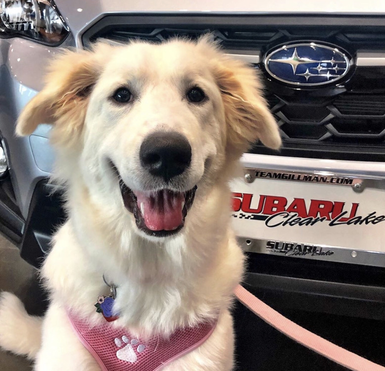 Eloise and her pawrents just purchased a 2020 Subaru Forester! She told us she cannot wait to ride around with the windows down. #Subaru #Subie #subieflow #subienation #subilove #HTX #houston #houstontx #clearlake #carsales #cars #carsforsale  #cardealership #subarupupspic.twitter.com/l0byPRI0dp