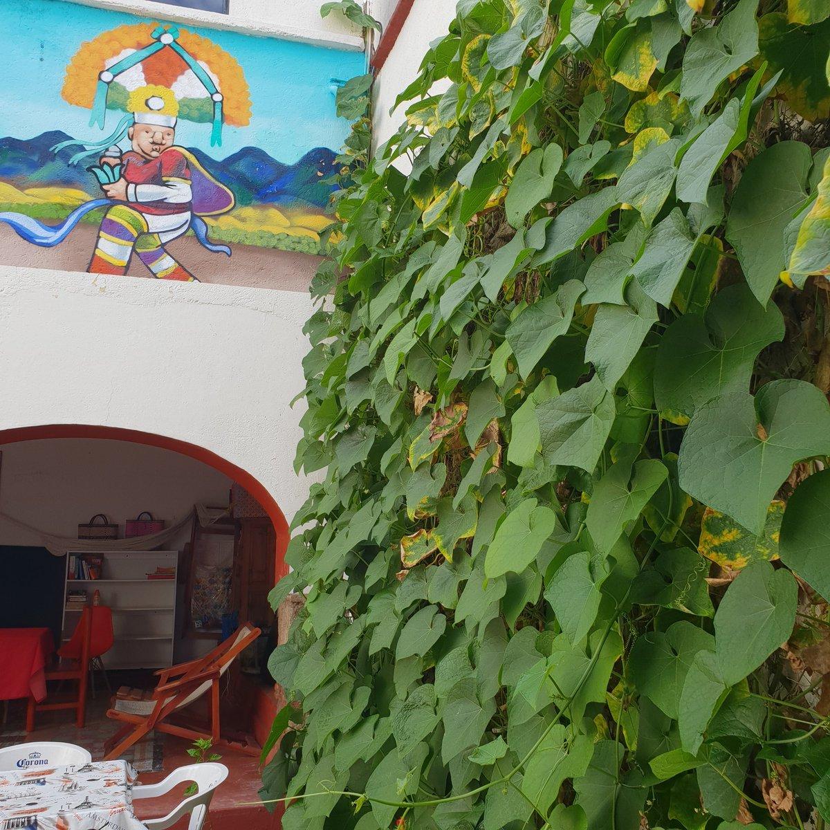 Nuestra planta de #chayotes creciendo ¡Te esperamos pronto! Our chayote plant growing We wait for you soon! Hostal el cielo #squash #vacaciones #hollyday #oaxaca #mexico #pool #alberca #hostal #hostel #centro #downtown #diversion #funny #fun #visitoaxaca #venaoaxaca #viaje #trip https://t.co/Di0DUsx2hr