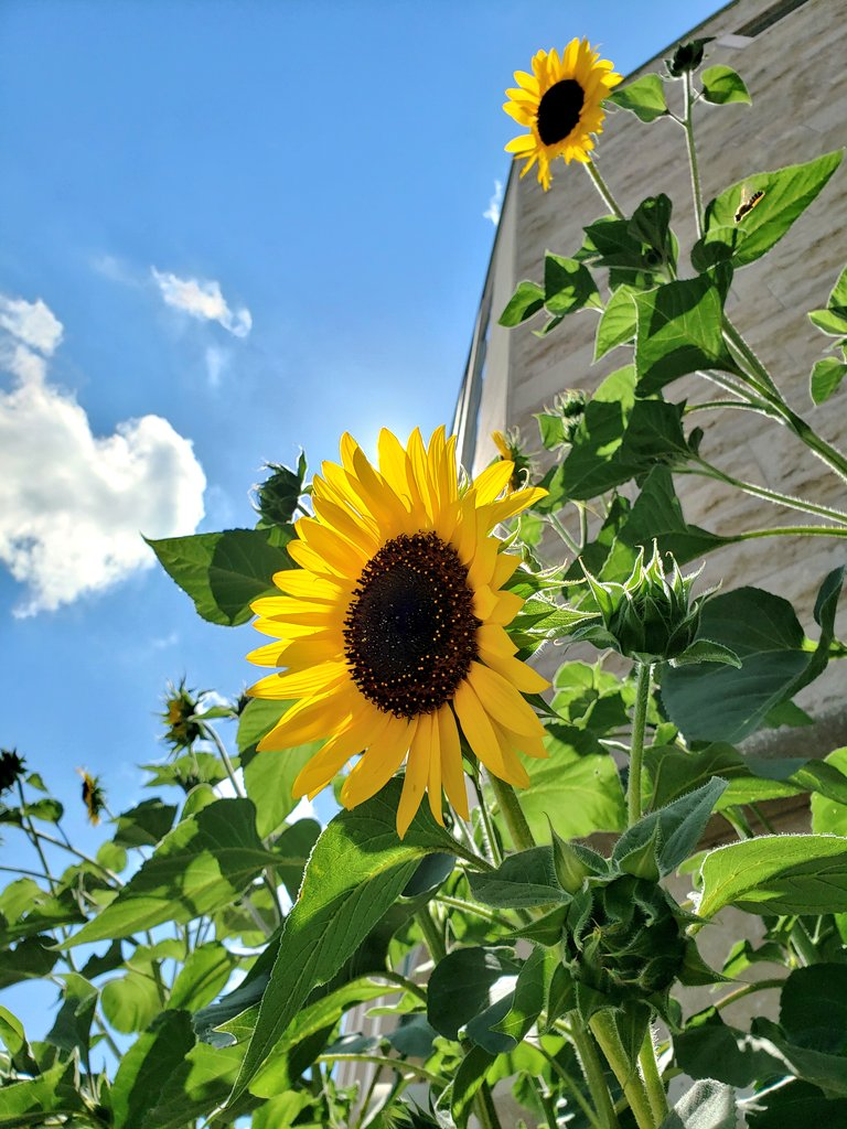 Sunflowers & blue skies to brighten up your day, @Tawan_V!    Hope you like these!  #Tawan_V pic.twitter.com/WTFhinBrHg