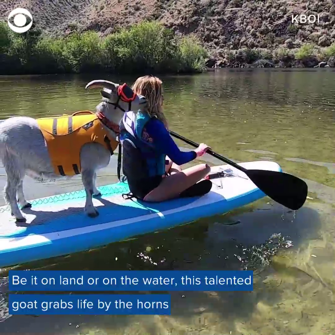 Say hello to Mr. Mayhem — the paddleboarding goat. 🐑 https://t.co/rBJBPE1Yoe