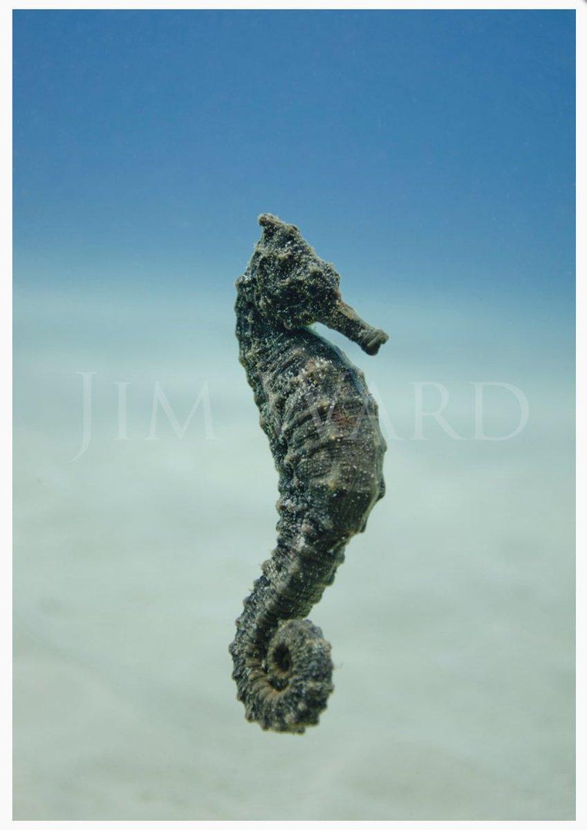 My favorite seahorse image; beautiful underwater photography by the very talented Jim Ward of @SeeThroughSea! #hippocampus #temporallobeepilepsy #epilepsy @efkentuckiana @UKYneuroscience @bensalem_owen https://t.co/0t7LyeuC9q https://t.co/BtCd8AFEBa