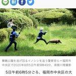 警察官がイノシシを追いかける写真がまるで、マンガのよう!