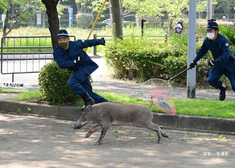 5日午前6時5分ごろ、福岡市中央区の #大濠公園 付近で警備中の福岡県警機動隊員が1頭の #イノシシ を発見。警察官らが追いかけ捕獲しようとしたが失敗しました。イノシシは隣接する #舞鶴公園 に逃げ込み、市中心部で逃走を続けたが正午前に捕獲されました。写真特集で→