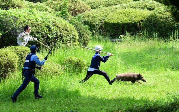 福岡・大濠公園にイノシシ 警官ら大捕物、逃走後「御用」に - 毎日新聞 この写真めっちゃ良くないか