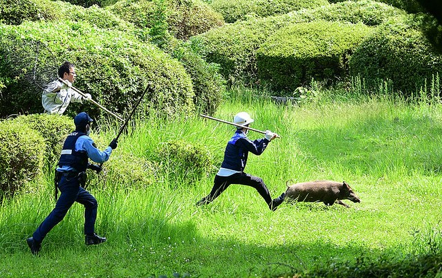"""【猪突猛進】福岡・大濠公園にイノシシ、警官らが""""大捕物""""警官らが追いかけて捕獲しようとしたが失敗。イノシシは隣接する舞鶴公園に逃げ込んで逃走を続けたが、正午前に「御用」となった。"""