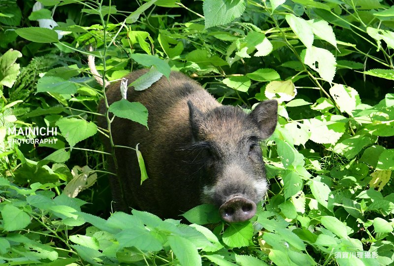 5日午前6時5分ごろ、福岡市中央区の #大濠公園 付近で福岡県警機動隊員が1頭の #イノシシ を発見。警察官らが追いかけ一度は捕獲しましたがイノシシは逃走。隣接する #舞鶴公園 に逃げ込み、さらに市中心部で逃げ続けたが正午前に捕獲されました。「大捕物」を写真特集で→