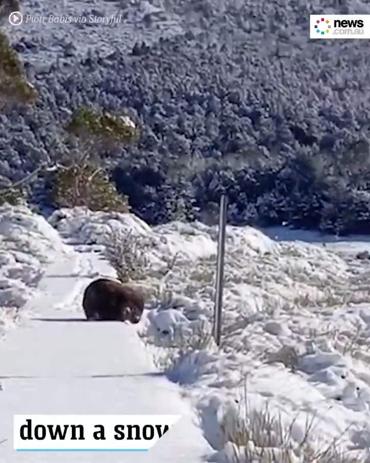 Tasmania has been transformed into a Winter Wonderland, and this lil' fella is loving it.