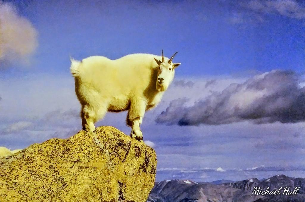 """On Top Of The World"" #NaturalBeauty #SummerVibes #mountains #mountain #goat #NaturePhotography pic.twitter.com/fIyyQgiRCB"