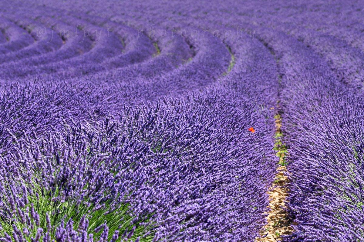 #CetEteJeVisiteLaFrance ! S'il y a bien un spectacle magique en #Provence, c'est celui de la floraison de la #Lavande sur le plateau de #Valensole dans les @AlpesProvence04 @SouthofFrance @CRT_RegionSud @MaRegionSud #OnATousBesoinDuSud #CotedAzurFrance #changezdedecor